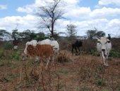 Kenyan cattle