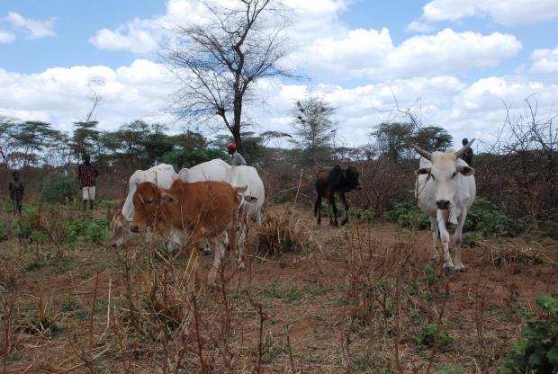 Tackling cattle-rustling in Samburu