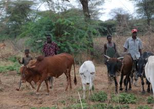 Cattle of the Ilchamus community near Lake Baringo